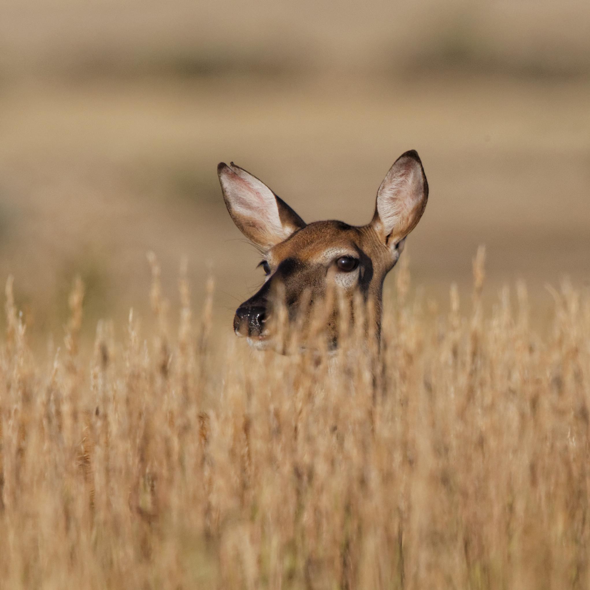 Doe Eye-deep In Tall Prairie Grass