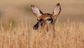 Doe Eye-deep In Tall Prairie Grass